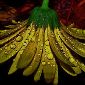 Flower Shower by Alan Hammond - Flowers Single Flower ( water, single flower, rain drops, rain, flower, Spring, springtime, outdoors,  )