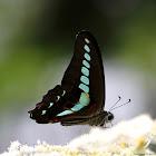 青鳳蝶(common bluebottle )