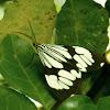 White Marbled Moth