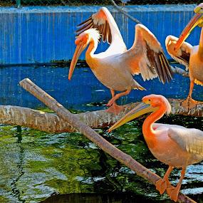 Water Birds by Sheeik Mohideen P - Animals Birds ( water, wildlife, birds,  )