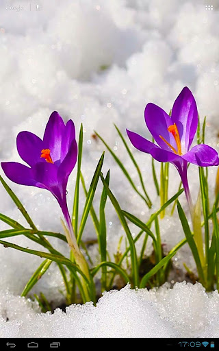 Crocus Flowers Among Icy Snow