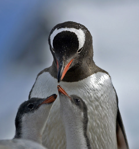 160d2GentooPenguins - Mama and babies.