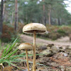 Halfglobe mushroom
