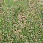 Indian grass