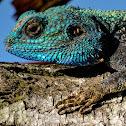Blue-headed Tree Agama (male)