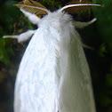 White Tussock Moth