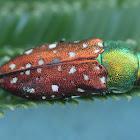 Acacia jewel beetle.