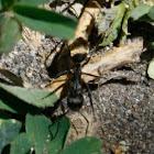 Hormigón Dorado / Golden Ant