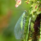 Grünes Perlenauge