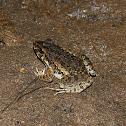 Crab-eating Frog