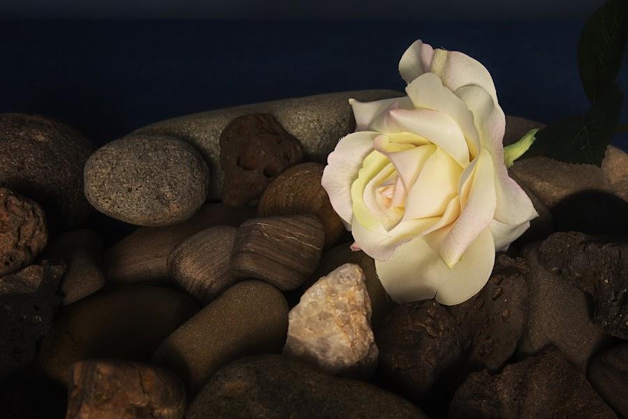 Rose on the Rocks by David Homen - Flowers Single Flower