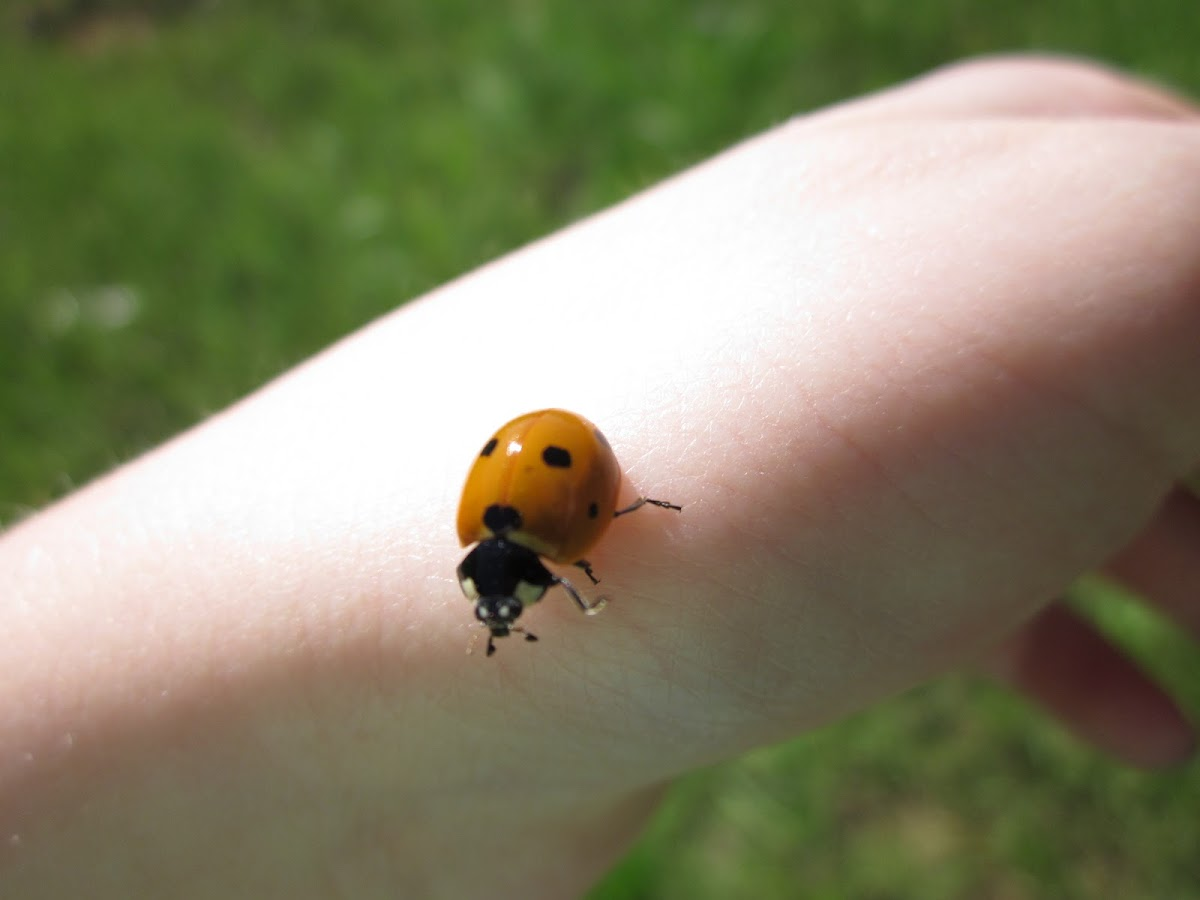 4-spotted Lady Beetle