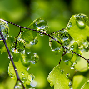 Drop on leaves by Andre Minoretti - Nature Up Close Natural Waterdrops ( macro-photography, nature, drops, leaves )