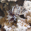 Feather-Duster Worm