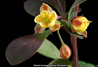 Berberis thunbergii flower - Berberys Thunberga kwiat