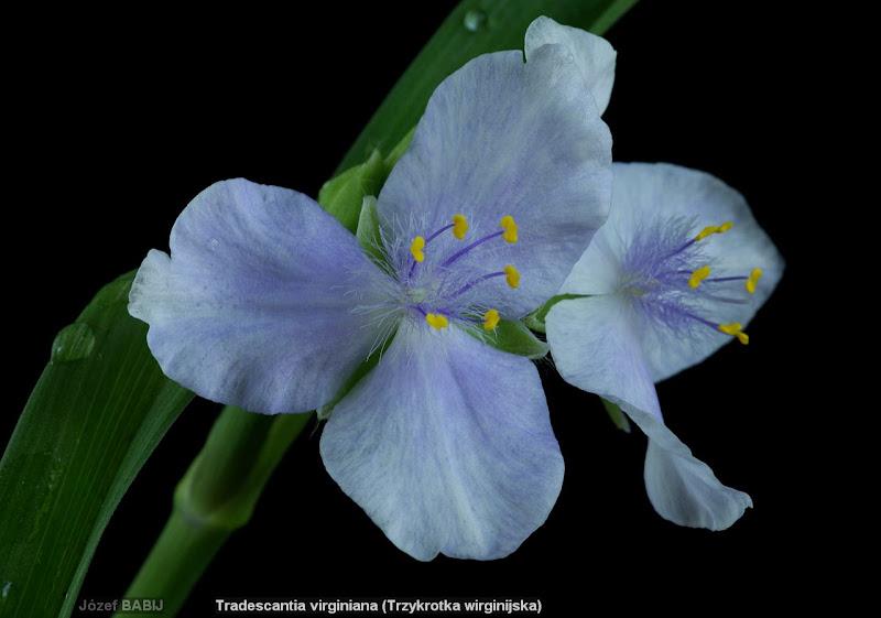 Tradescantia virginiana flowers - Trzykrotka wirginijska kwiaty