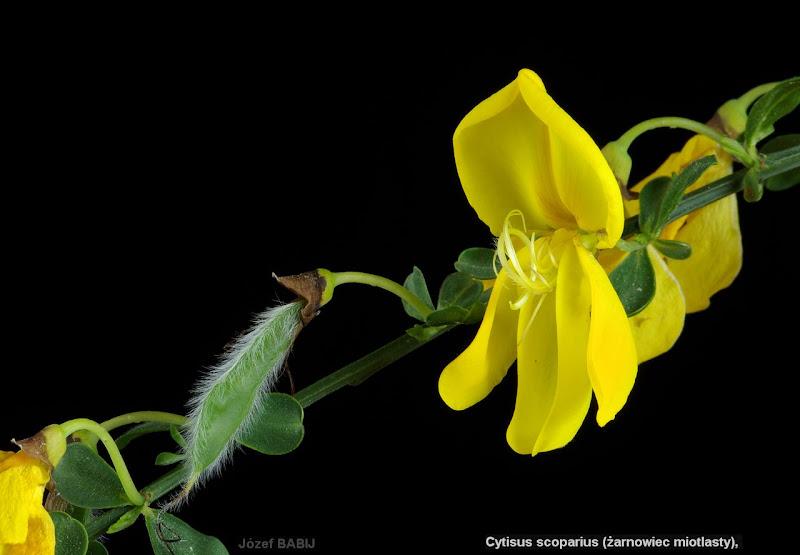 Cytisus scoparius flower - Żarnowiec miotlasty kwiat