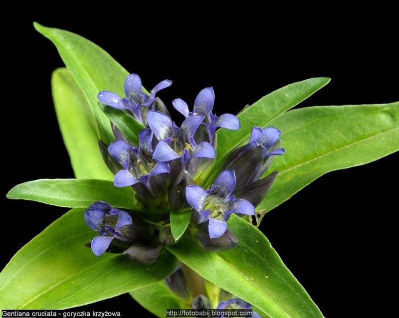 Gentiana cruciata - Goryczka krzyżowa kwiatostan