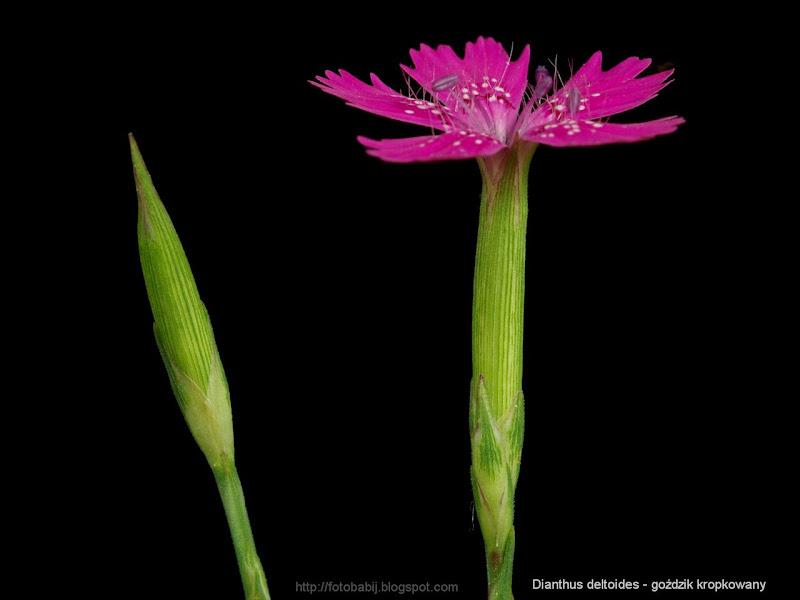 Dianthus deltoides flowers - Goździk kropkowany kwiaty