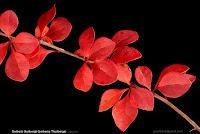 Berberis thunbergii autumn leafs  - Berberys Thunberga liście jesienią