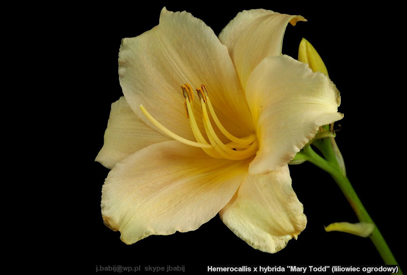 Hemerocallis 'Mary Todd' - Liliowiec 'Mary Todd'