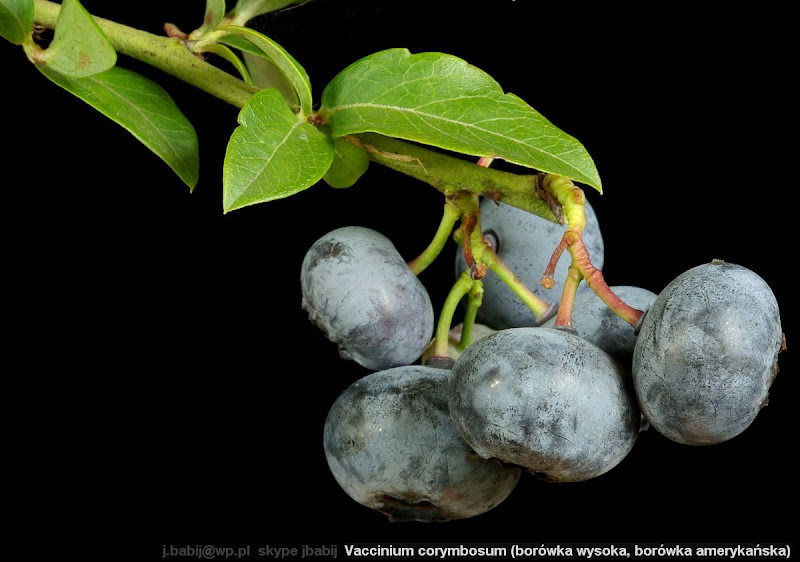 Vaccinium corymbosum fruits - Borówka wysoka, b. amerykańska owoce