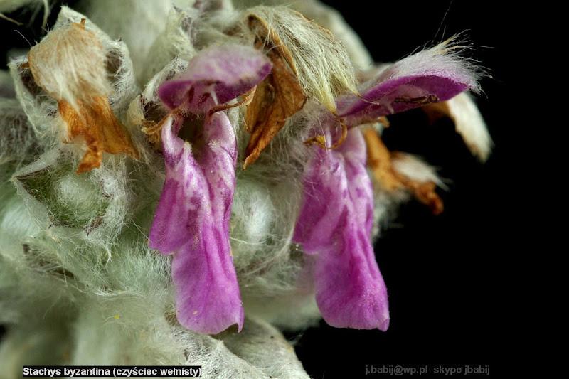 Stachys byzantina  flower - Czyściec wełnisty kwiat