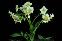 Solanum tuberosum - Psianka ziemniak, kartofel kwiatostan