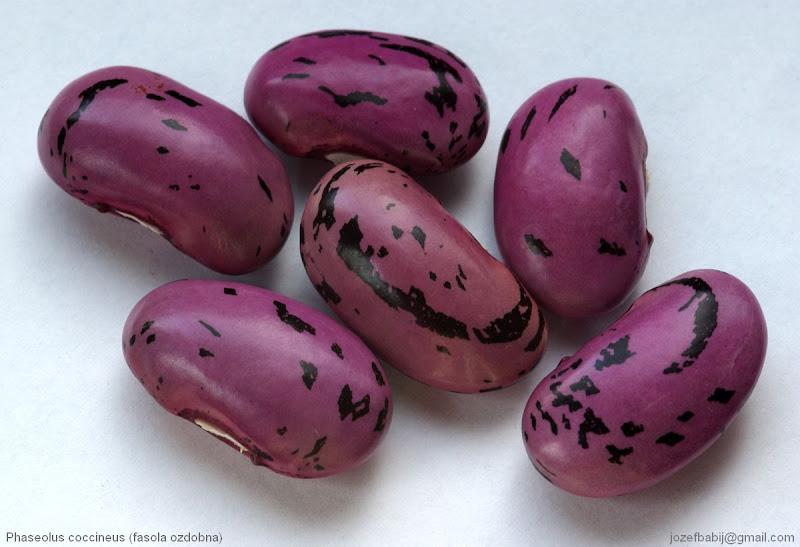 Phaseolus coccineus - Fasola ozdobna