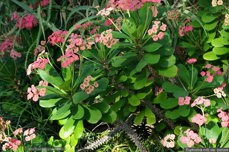 Euphorbia milii var. sonora habit - Wilczomlecz lśniący pokrój