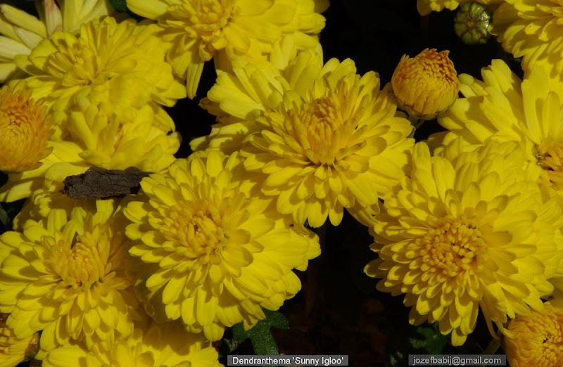 Dendranthema 'Sunny Igloo' flowers - Chryzantema 'Sunny Igloo'  kwiaty