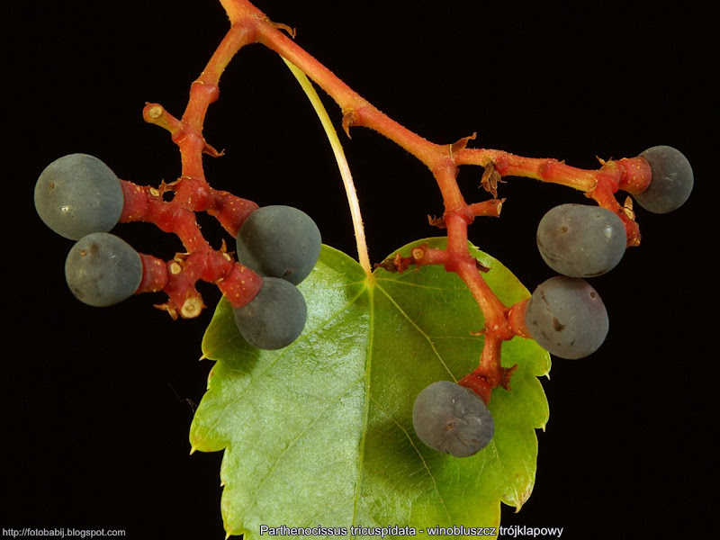 Parthenocissus tricuspidata fruit - Winobluszcz trójklapowy owoce