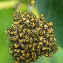European garden spider (newly hatched spiderlings)