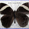 Straight Banded Tree Brown (Mounted Specimen)