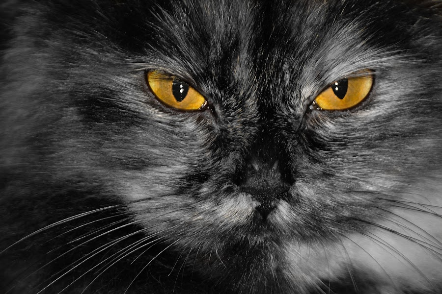 THE EYE by Gaz Makarov - Animals - Cats Portraits ( cat, yellow, close up, portrait, black, animal )