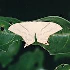 Asthenidia lactucina