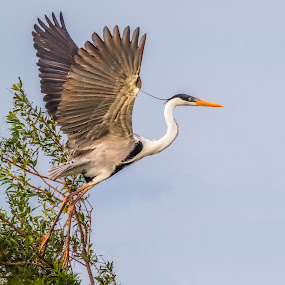 The take-off! by Jay Gould - Animals Birds ( argentina-ibera marshes, flight, 2009, white necked heron, birds )
