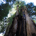 Coast Redwood