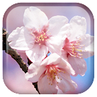 Sakura fondo animado icon