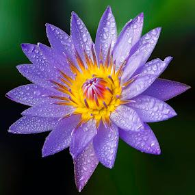 by Juliser Salvan - Flowers Single Flower