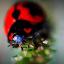 Transverse Ladybird Beetle