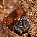 Ornamented Pygmy Frog