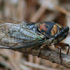 Lyric Cicada