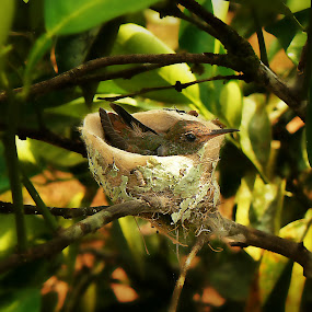 Fledgling Hummingbird by Siggy In Costa Rica - Animals Birds (  )