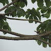 Rufous-naped Wren