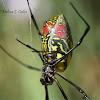 Joro Spider