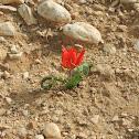 Desert tulip