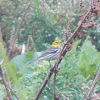 Black-throated Green Warbler?