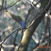 黑枕藍鶲 / Black-naped Blue Monarch