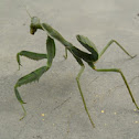 Female mantis